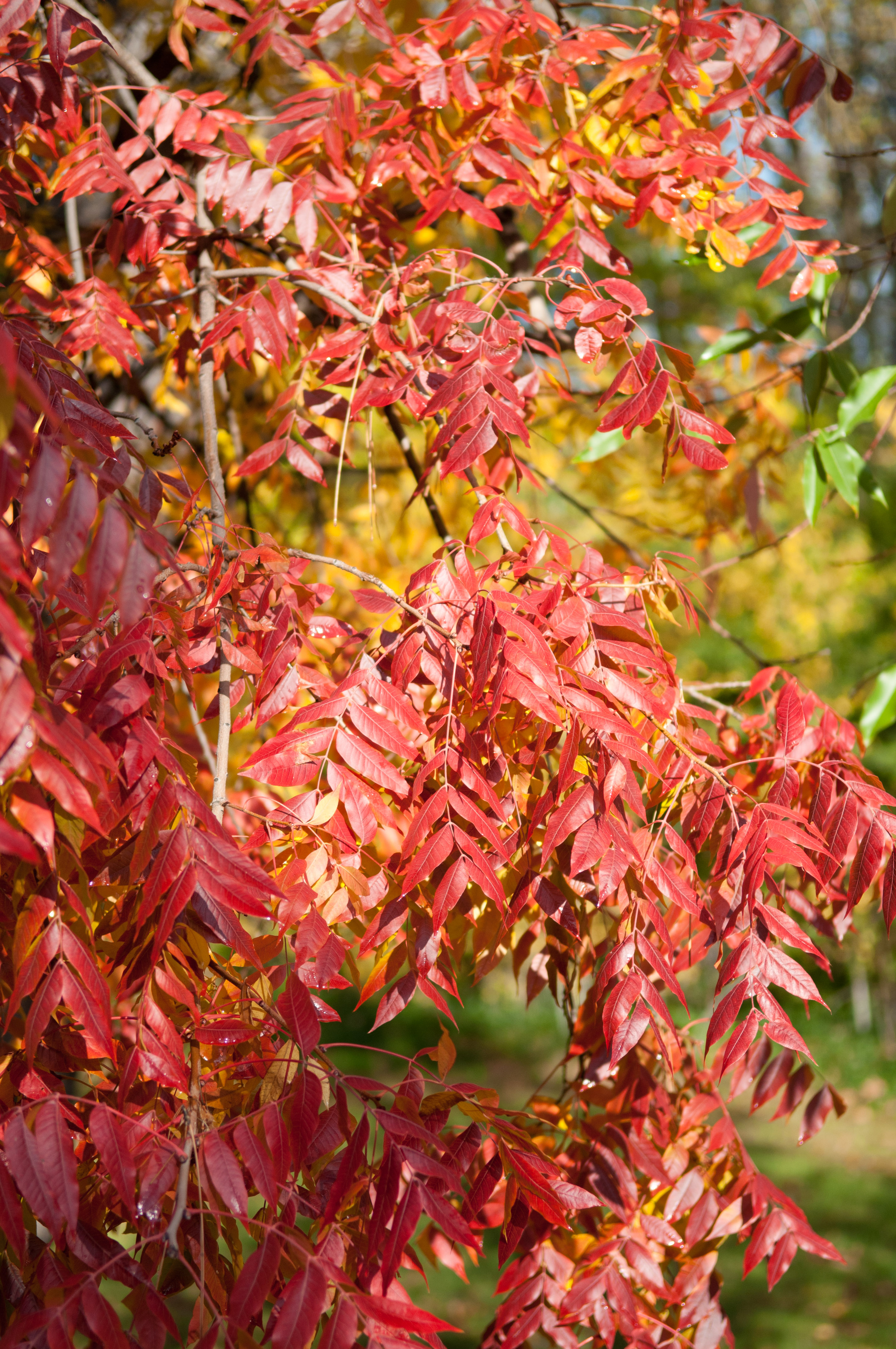 A bit of Fall color from the Genetic Test Center in Chico